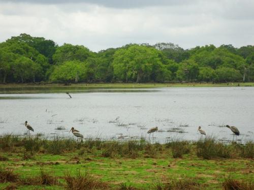 Junto al lago, Wilpattu